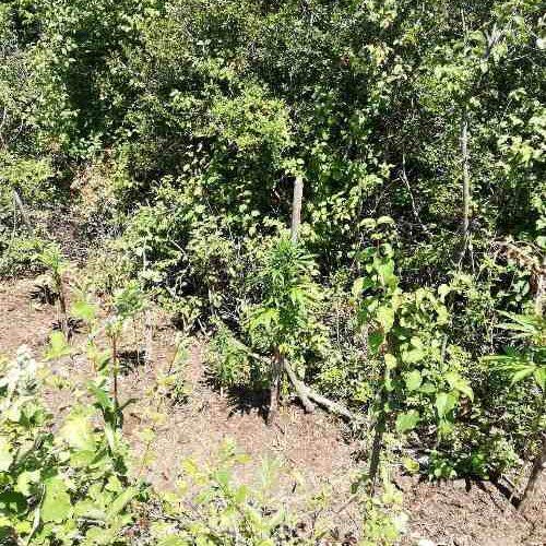 Συνελήφθησαν δύο άτομα  σε Ημαθία και Σέρρες για καλλιέργεια δενδρυλλίων κάνναβης