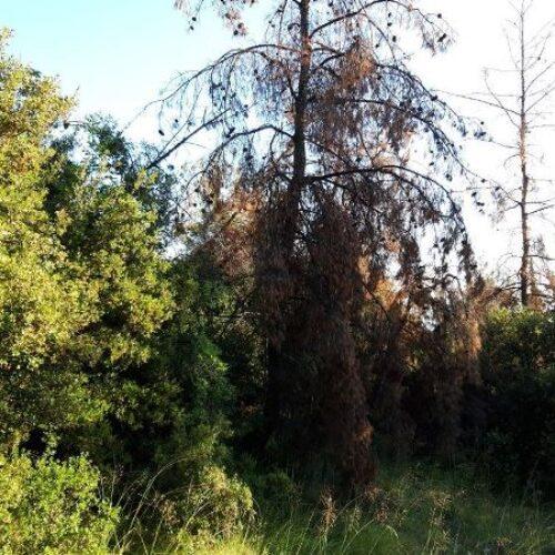 Προσβολές φλοιοφάγου εντόμου στα άλση του Δήμου Βέροιας