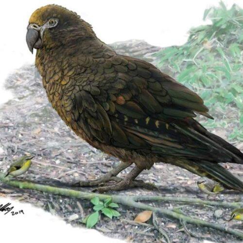 """""""Ο Ηρακλής ο απρόσμενος"""". Ανακαλύφθηκε ο μεγαλύτερος παπαγάλος που έζησε ποτέ"""