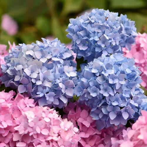 Ορτανσία:   Ο φυλλοβόλος καλλωπιστικός θάμνος με τα εντυπωσιακά λουλούδια του