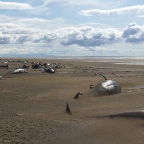 Η κλιματική αλλαγή έχει τρελάνει τα ζώα: Στην Ισλανδία ξεβράστηκαν στις ακτές 50 φάλαινες