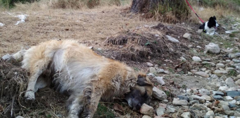 Κτηνωδία στη Φλώρινα: Πάνω από 50 νεκρά σκυλιά από φόλες - Πρώτη φορά ένα τόσο μεγάλο έγκλημα