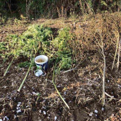 Σύλληψη  59χρονου για καλλιέργεια δενδρυλλίων κάνναβης