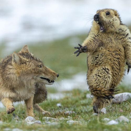 """""""Η αλεπού και η μαρμότα"""" H καλύτερη φωτογραφία άγριας ζωής για το 2019"""