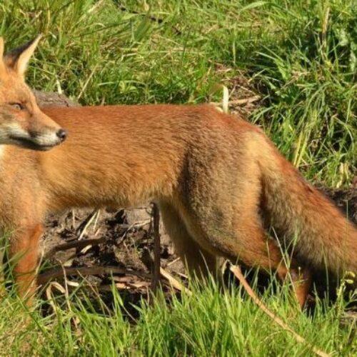 Π.Ε Ημαθίας: Έναρξη του προγράμματος ενεργητικής επιτήρησης της λύσσας