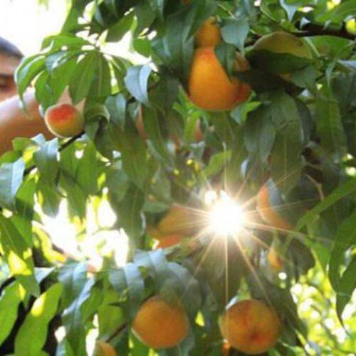 """Φρ. Καρασαρλίδου: """"Να σταματήσει ο εμπαιγμός των ροδακινοπαραγωγών, πριν δοθεί η χαριστική βολή στην καλλιέργεια"""""""