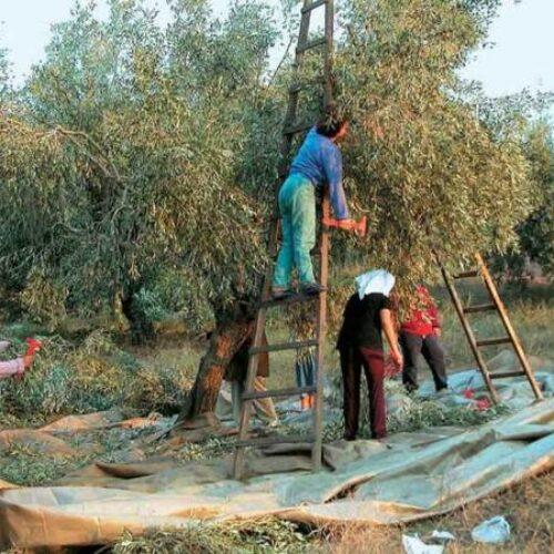 ΚΙΝΑΛ: Οι ελαιοπαραγωγοί περιμένουν λύσεις και όχι διαπιστώσεις από την Κυβέρνηση
