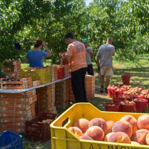 Αγροτικός Σύλλογος Ημαθίας: Θα υπάρξει ΑΥΡΙΟ για τους Ροδακινοπαραγωγούς, ΥπΑΑΤ κ. Μάκη Βορίδη;