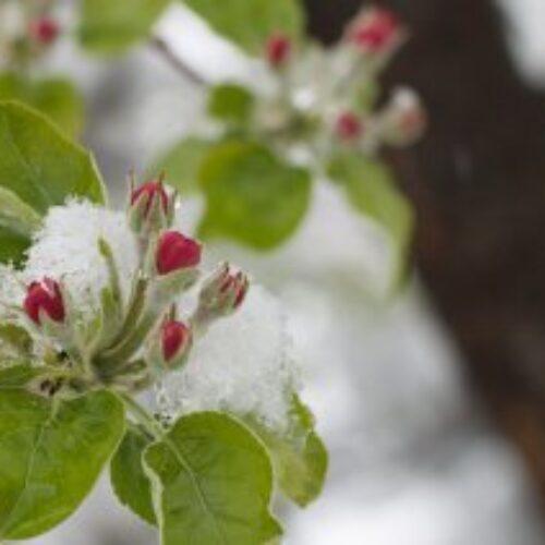 Εκτεταμένες ζημιές σε καλλιέργειες στο Δήμο Νάουσας από τον πρόσφατο παγετό