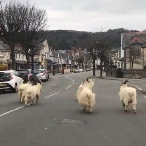 """Κορωνοϊός - Μπέργκαμο  και Ουαλία: """"Η εκδίκηση των ζώων"""""""