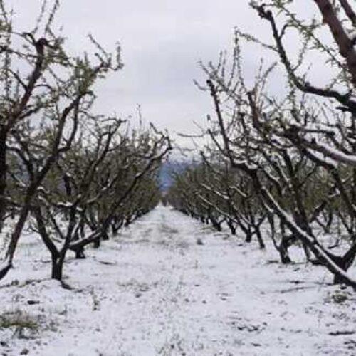 Προθεσμία υποβολής δηλώσεων ζημιάς από παγετό της 17-03-2020 σε οπωροφόρα δέντρα της Τ. Κ. Βέροιας