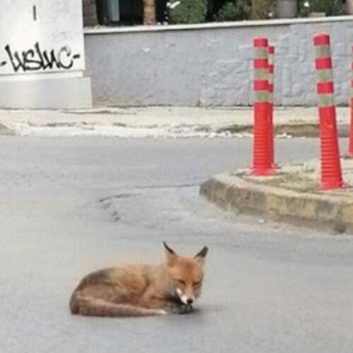 Απίστευτο! Αλεπού λιάζεται στη μέση του δρόμου στην Αγία Παρασκευή στην Αθήνα