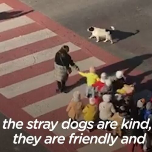 Απίστευτο βίντεο: Αδέσποτο σκυλί ρυθμίζει την κυκλοφορία σε ρόλο τροχονόμου
