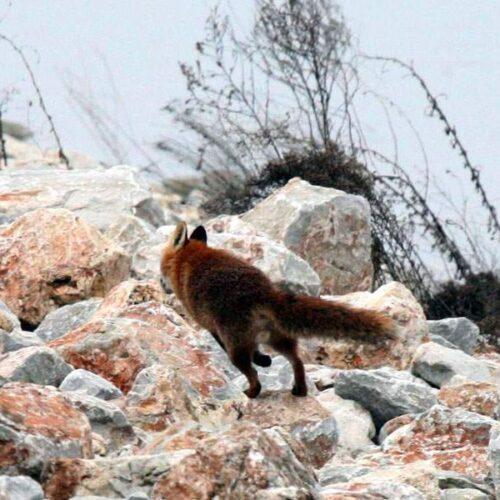 Ρίψεις εμβολίων κατά της λύσσας σε περιοχές της Π.Ε. Ημαθίας