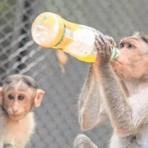 Ινδία: Αλκοολική μαϊμού σκότωσε ένα και δάγκωσε 250 άτομα αναζητώντας αλκοόλ