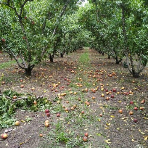 ΑΣ Ημαθίας: Άμεση παρέμβαση της πολιτείας και καταβολή στρεμματικής ενίσχυσης στους ροδακινοπαραγωγούς