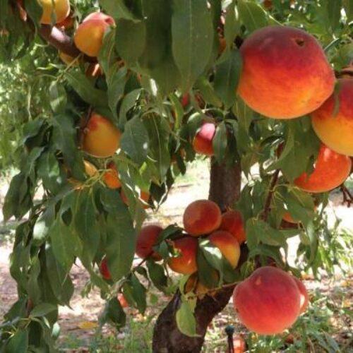 Ομοσπονδία αγροτικών συλλόγων Δενδροκαλλιεργητών Κεντροδυτικής Μακεδονίας