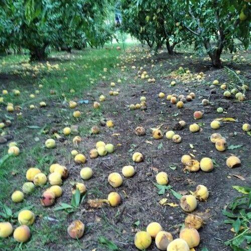 """Αγροτικός Σύλλογος Νάουσας """"Μαρίνος Αντύπας"""": Τεράστιες είναι οι καταστροφές στις καλλιέργειες"""