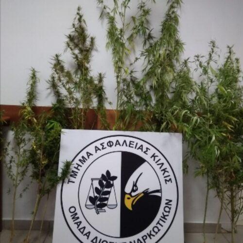 Συλλήψεις στην Κεντρική Μακεδονία για καλλιέργεια δενδρυλλίων κάνναβης