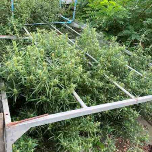 Ημαθία: Συνελήφθη για καλλιέργεια δενδρυλλίων κάνναβης και κατοχή ναρκωτικών