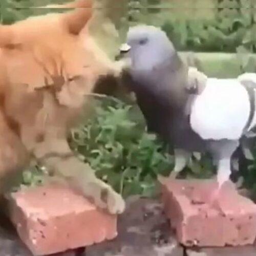 Περιστέρι επιτίθεται σε γάτα που... αμύνεται! (video)