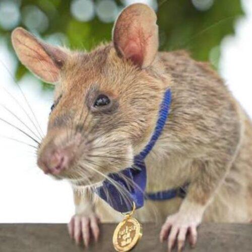 Αρουραίος βραβεύτηκε με χρυσό μετάλλιο γιατί ανιχνεύει νάρκες (video)