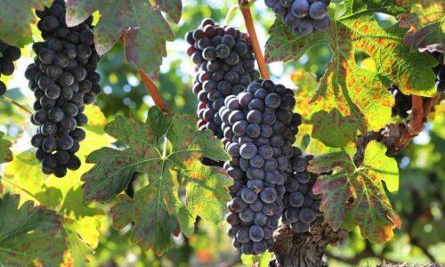 Διαγωνισμό φωτογραφίας με θέμα τον τρύγο και την παραγωγή κρασιού διοργανώνει ο Δήμος Νάουσας