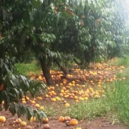 Παρέμβαση Τάσου Μπαρτζώκα για τις αποζημιώσεις των ροδακινοπαραγωγών