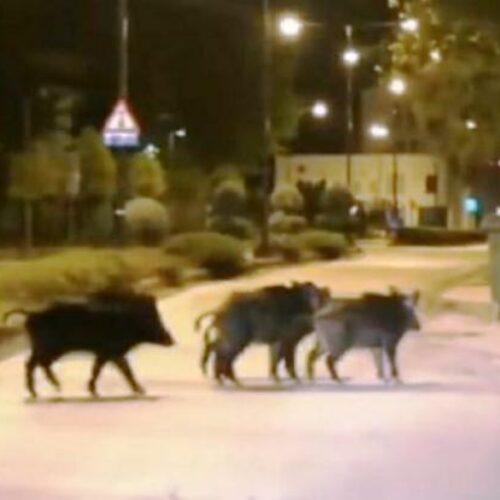 Θεσσαλονίκη: Αγριογούρουνα «σπάνε» το lockdown και «βολτάρουν» ανενόχλητα στο Πανόραμα (video)