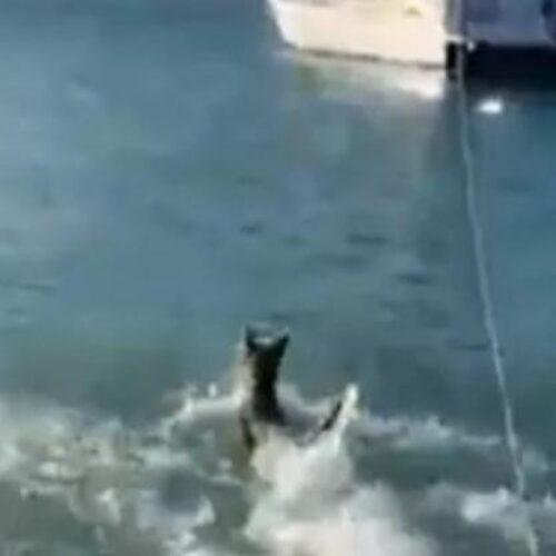 Απίστευτο: Ατρόμητος σκύλος βούτηξε στη θάλασσα και κυνήγησε καρχαρία (video)