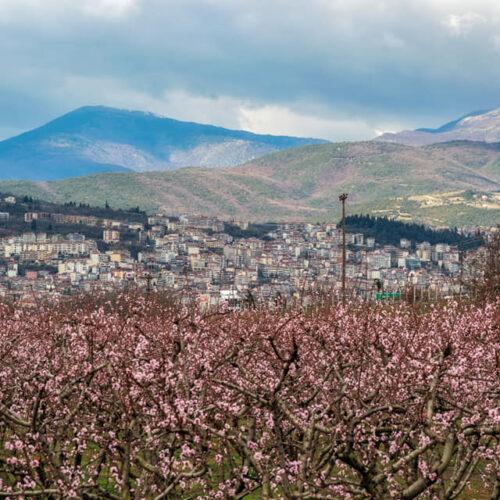 Εικόνες μοναδικής ομορφιάς. To ροζ της Άνοιξης του κάμπου της Βέροιας με το φακό της Ρίτσας Λίτσα