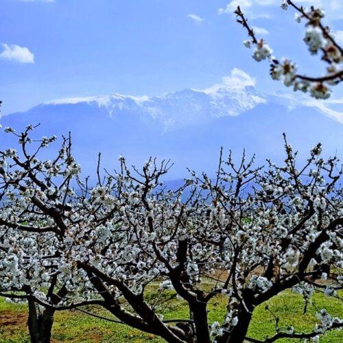 Οι κερασιές ανθίζουν στους πρόποδες του Ολύμπου