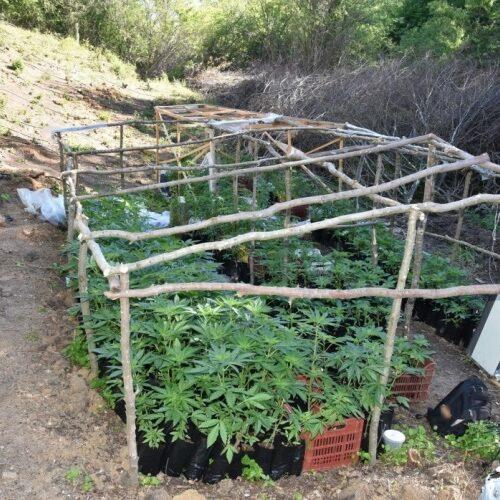 Κιλκίς: Εντοπίστηκε φυτεία με περισσότερα από 1.400 δενδρύλλια κάνναβης
