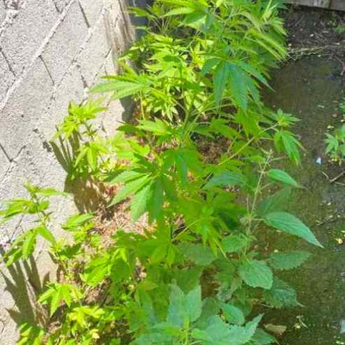 Ημαθία: Καλλιεργούσε στην αυλή του σπιτιού του 34 δενδρύλλια κάνναβης