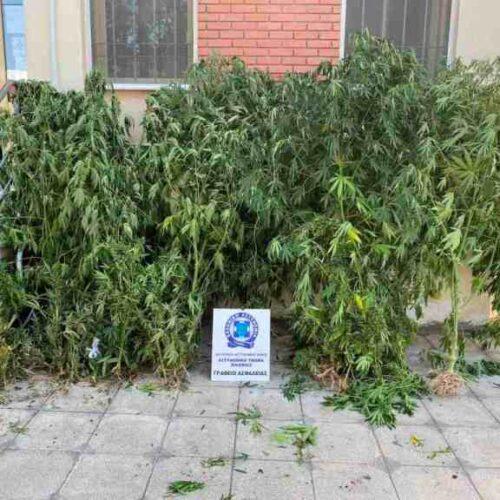 Θεσσαλονίκη: Καλλιεργούσε 57 δενδρύλλια κάνναβης και συνελήφθη