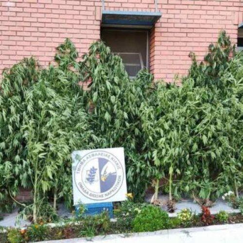 Κιλκίς: Συνελήφθη για καλλιέργεια δενδρυλλίων κάνναβης