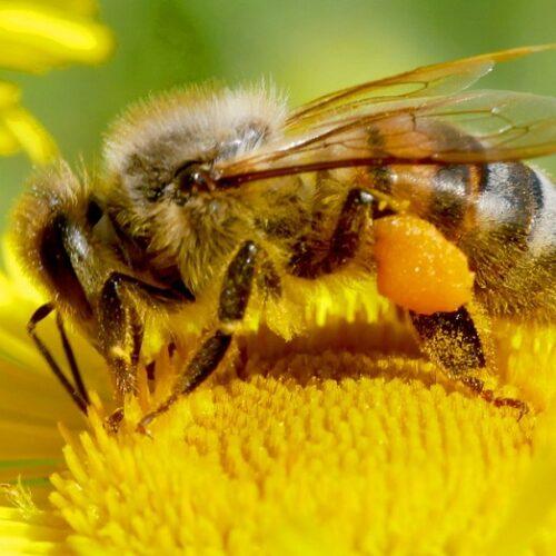 Υμενόπτερα (Η Μέλισσα) γράφει ο Νότης Μαυρουδής