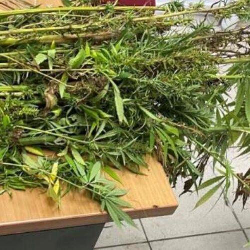 Πιερία: Συνελήφθη ένα άτομο στην Πιερία για καλλιέργεια 90 δενδρυλλίων κάνναβης