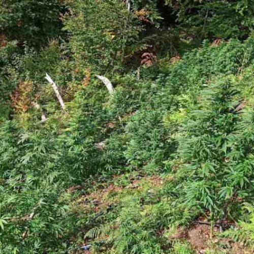 Σέρρες: Εντοπίστηκε φυτεία δενδρυλλίων κάνναβης