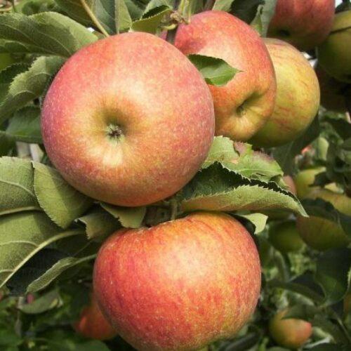 Ενημέρωση για αναγγελίες ζημιάς σε καλλιέργειες μηλιάς στη Νάουσα από βροχόπτωση