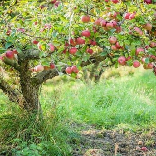Δήμος Νάουσας: Ενημέρωση για δηλώσεις ζημιάς από βροχόπτωση σε καλλιέργειες μηλιάς στην Τοπική Κοινότητα Χαρίεσσας