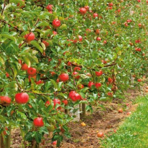 Δήμος Νάουσας: Ενημέρωση για αναγγελίες ζημιάς σε καλλιέργειες μηλιάς σε Γιαννακοχώρι, Ροδοχώρι και Ειρηνούπολη