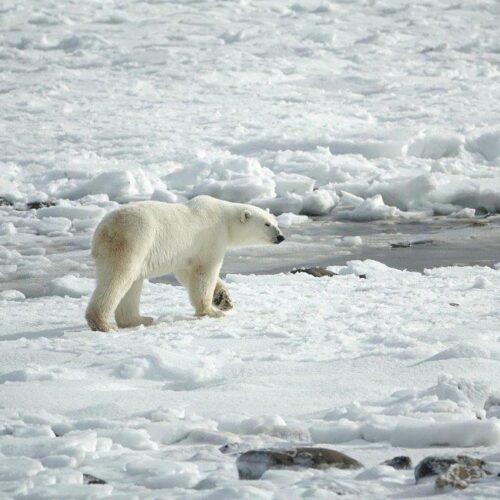 Οι πολικές αρκούδες θα μπορούσαν να αφανιστούν μέχρι το τέλος του αιώνα, προειδοποιεί νέα μελέτη